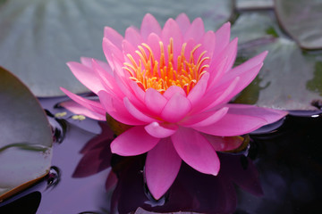 Close-ups  Fresh Bloom  Pink Nymphaea Water lily or Pink Lotus Flower on the lotus lake - Floral backdrops and beautiful details picture concept