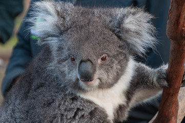 Close up of cute koala bear animal on a eucalyptus tree