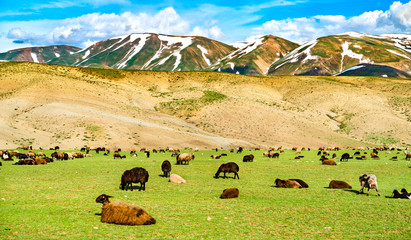 Herd of sheep in the mountains of Eastern Turkey