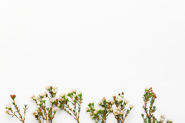 Foto auf Leinwand Blumen Geraldton flower natural border on white empty background. Decorative beautiful small flowers. Chamelaucium at bottom. Spring composition. Botanical horizontal backdrop with blooming and copy space