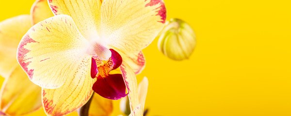 Foto op Plexiglas Orchidee Most commonly grown house plants. Close up of orchid flower yellow bloom. Phalaenopsis orchid. Botany concept with copy space. Banner.
