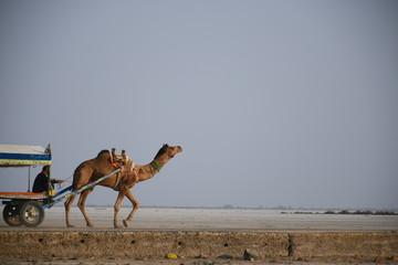 Poster Kameel Camel Cart In White dessert Dhordo, Gujarat, India