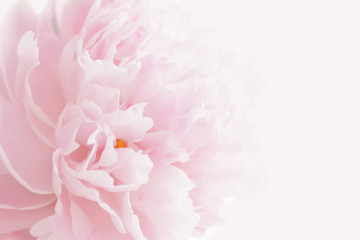 Pink peony in pastel delicate colors close up.