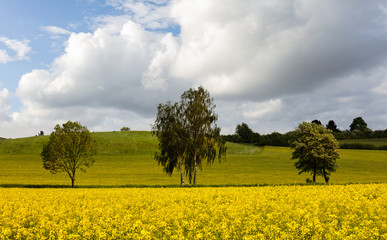 The yellow rapeseed is blooming next to a country road with three trees. An agricultural area in the middle of Germany. The sun is shining with beautiful clouds in the sky.