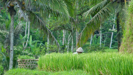 Printed kitchen splashbacks Khaki Farmer collects rice in the fields of Bali