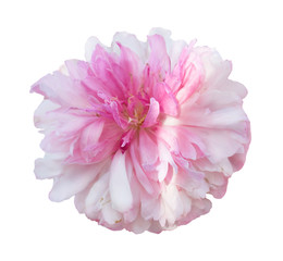 Beautiful peony flower on white background. Pink flower isolated.