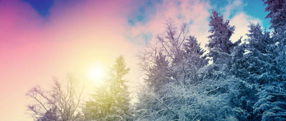 Foto auf Leinwand Rosa hell Winter landscape with snow covered fir trees and sun.