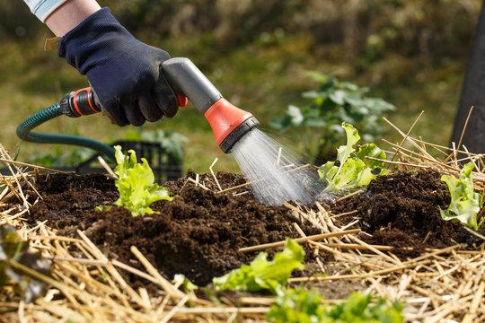 Gardener watering freshly planted seedlings in garden bed for growth boost with shower watering gun.
