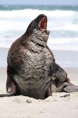 Neuseeländischer Seelöwe (Phocarctos hookeri) an einem Strand auf der Otago Halbinsel. Neuseeland