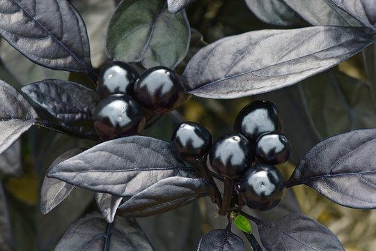 Black Pearl ornamental pepper (Capsicum annuum 'Black Pearl')