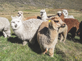 Domesticated alpacas, social herd animals that live in family groups