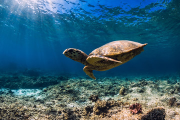 Sea turtle glides in blue ocean. Underwater view with turtle
