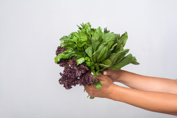 Closeup of hands holding fresh cooking herbs, leafy green vegetables, showing parsley sorrel lettuce, concept of healthy nutrition, organic food. indoor studio shot isolated on grey background