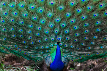 Photo sur Plexiglas Paon peacock with feathers out