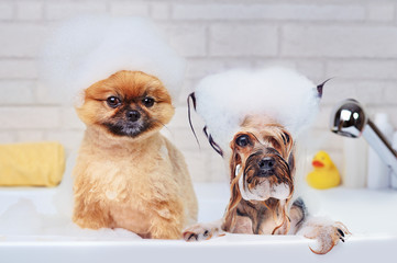 Spoed Fotobehang Hond Pomeranian and yorkshire terrier having foam bath