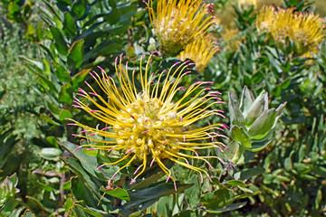 Protea -  Kirstenbosch Botanical Garden - Capetown