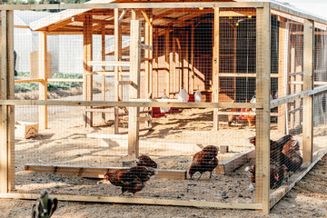 Be natural. Poultry farm on a sunny day. Chickens sit in open-air cages and eat mixed feed. Modern farming concept. Gallus domesticus. Horizontal shot