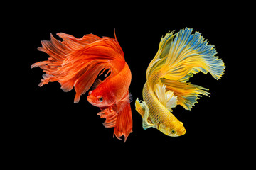 Foto op Plexiglas Vissen The moving moment beautiful of yellow and red half moon siamese betta fish or dumbo betta splendens fighting fish in thailand on isolated black background. Thailand called Pla-kad or big ear fish.