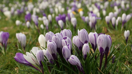 Door stickers Crocuses Krokus- Wiese mit Krokussen