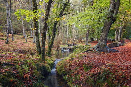 Beech forest in autumn, National Park of Peneda Geres, Portugal