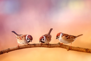 Wall Mural - three small funny birds sit on a branch in a Sunny spring garden