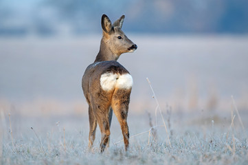 Foto op Aluminium Ree Wild female roe deer, standing in a frost covered field during winter season