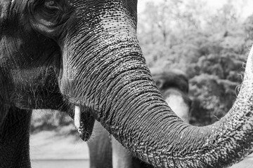 Tuinposter Olifant Black and white portrait of an cute elephant holding out its trunk. Big elephant close-up, the photo was taken in one of the villages of India. Beautiful texture of thick skin of a young elephant.