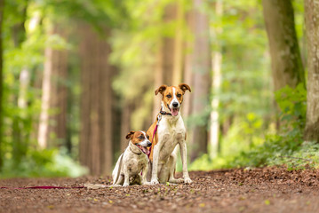 Two cute enchanting dogs are walking together without humans. Small Jack Russell Terrier doggy and a big mongrel hound