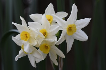 Papiers peints Narcisse narciso
