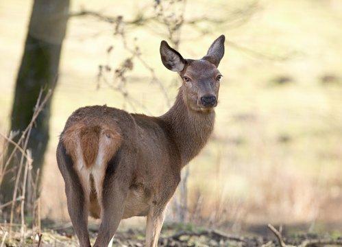 curious female doe