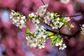 white apple blossom on the pink background. beautiful springtime nature scenery in the garden. sunny weather