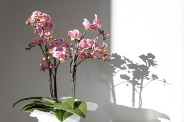 A beautiful and colorful indoor orchid plant in a white vase illuminated by a soft natural view from a window