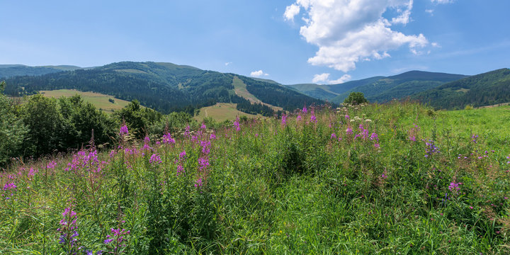 purple flowers on a hillside meadow in mountains. wonderful summer weather with clouds on the sky