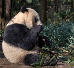 Fotomurales - Panda Bear Eating Bamboo, Bifengxia Panda Reserve in Ya'an Sichuan Province, China. Panda