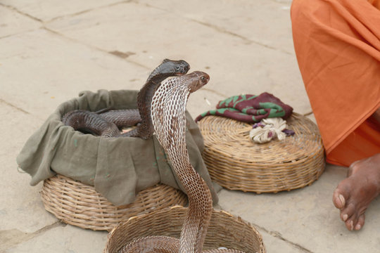 Cobras of snake charmer on the ghat