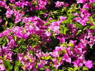 Wall Mural - Pink Bougainvillea flower in blooming.