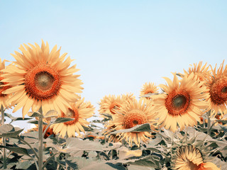 Wall Mural - sunflower over clear blue sky background with vintage filter effect.