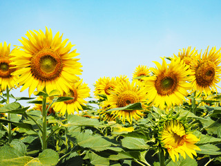 Wall Mural -  yellow sunflower over clear blue sky background.