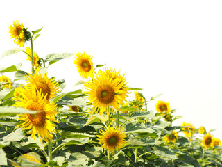Wall Mural - Beautiful blooming yellow sunflower over white background.