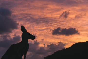 Foto op Canvas Kangoeroe AUSTRÁLIA, Cape Hillsborough - silhueta de canguru no nascer do sol,