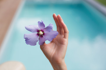 Close up hand holding tropical purple hibiscus at poolside