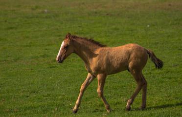 Little horse run