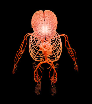 Human circulatory and nervous systems