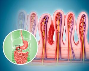 Small intestinal wall, illustration
