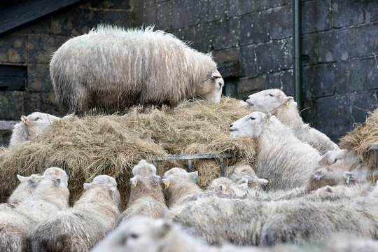 Sheep feeding on hay in winter