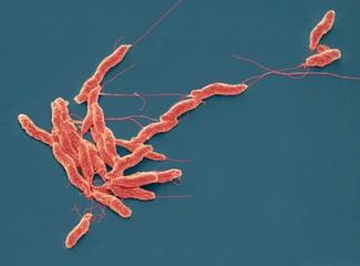 Campylobacter jejuni bacteria, SEM