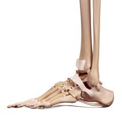 Human foot ligaments