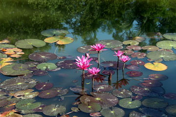 Wall Murals Water lilies Water lily in pond