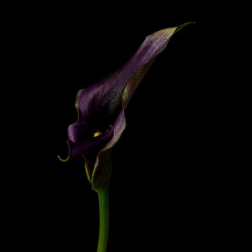 Calla lily, purple, dark background