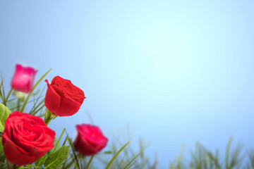 Keuken foto achterwand Lichtblauw Red rose flower on the field